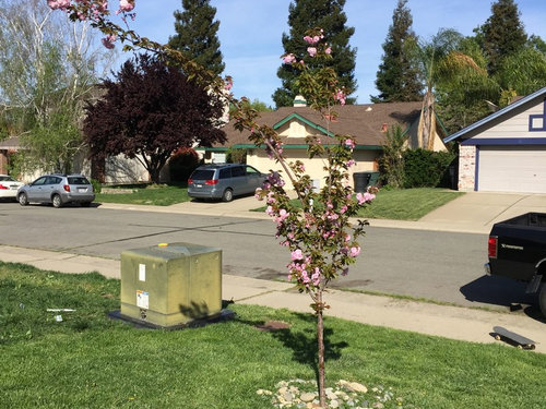 What To Do With My Kwanzan Cherry Tree