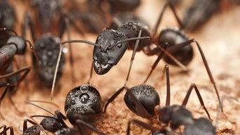 Ant extermination in Fairfax VA