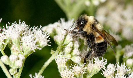 How You Can Help the First Endangered U.S. Bee Species