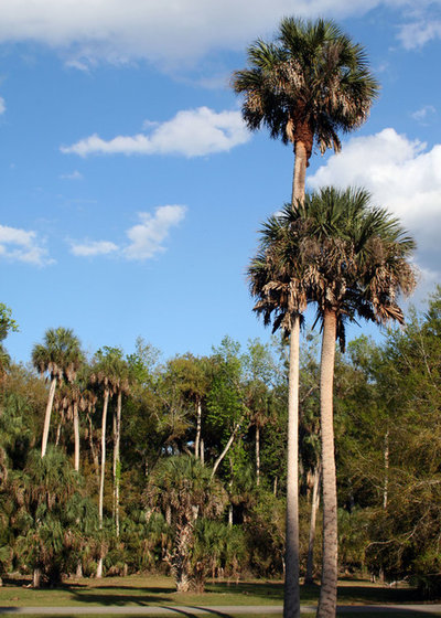 great design plant sabal palm enchants in balmy sites