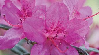 Encore Azalea Autumn Amethyst™