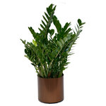 Scape Supply - Live 3' Zamioculcas Zamiifolia (ZZ) Package, Bronze - The Zamioculcas Zamiifolia is often referred to as the ZZ Plant due to its wild sounding name.  This thicker ZZ package includes a 16 inch commercial quality plastic planter that stands between 36-40 inches tall.  The ZZ plant at this size has taller branches that will eventually open out as the plant grows (over a year).  The leaves are a lovely rounded shape that are thicker and more plump than most.  The ZZ  is very hearty, requiring less water  and can handle areas of low light.  This package goes well with any interior design style and definitely brings an interesting look to your individual aesthetic.  It has become a very popular plant in the last couple of years and is nice option for a medium sized foliage for your home.