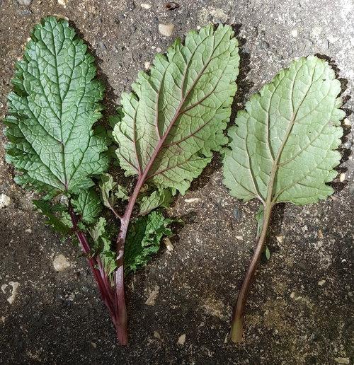 Identifying 2 Plants Purple Stems Green Leaves