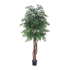 6' Ming Aralia Executive