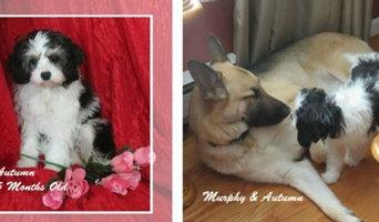Cavachon Puppies for Sale in Massachusetts and Boston