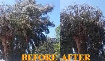 Big Eucalyptus tree trim