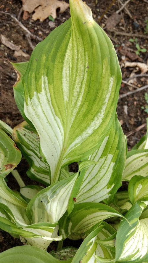 Hosta Hvx Identification