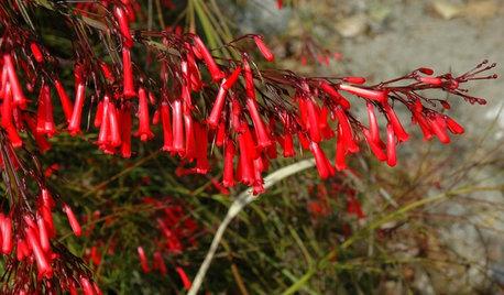 Great Design Plant: Russelia Equisetiformis