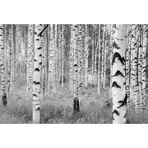 Black and White Forest Photo Wall Mural, 368x248 cm