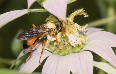 Great Golden Digger Wasp: A Beneficial Flower-Visiting Insect