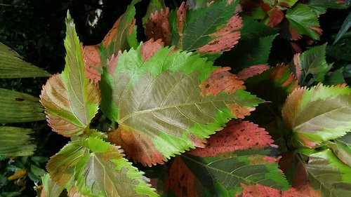 Want Acalypha Wilkesiana Mosaic Leafcopper Leaf Cuttings For Swap