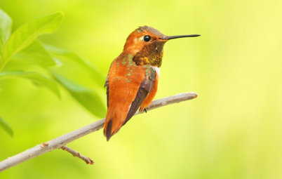 Backyard Birds: Invite Entertaining Hummingbirds Into Your Garden