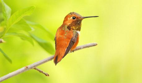 Backyard Birds: Invite Entertaining Hummingbirds Into Your Garden