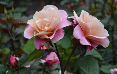 What Kind of Roses Should You Grow?
