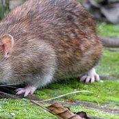 Real Pest Rat Control Melbourne's photo