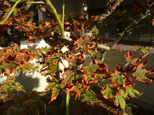 Leaves Of Japanese Maple Turning Brown