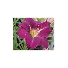 Perennials- Iris, Hosta, Daylily