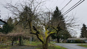 Old apple tree in Bothell