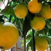 Lemon Lime Orange Zone 6a's photo