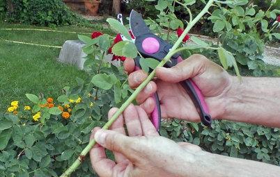 Cuidados y trucos para cuidar rosales y tener rosas todo el año