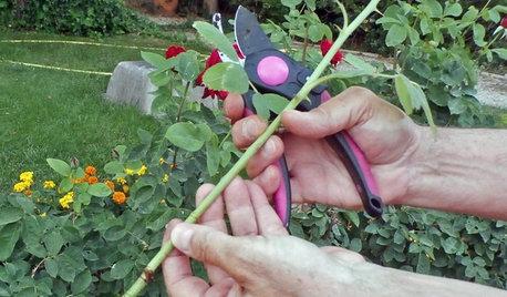 Cuidados y trucos para cuidar rosales y tener rosas en el jardín