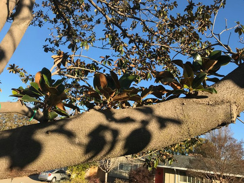 Dying Magnolia Can I Save It