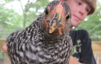 4 Farm-Fresh Chicken Coops in Urban Backyards