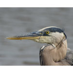 "Pi Photography Wall Art and Fine Art - Great Blue Heron Wildlife Photography Unframed Wall Art Print, 20""x30"" - Great Blue Heron Wildlife Photography - Luster Photo Paper Unframed Wall Art Print"