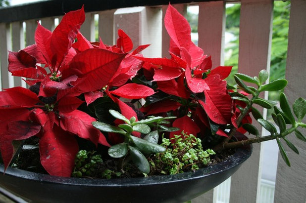 Flor De Pascua Cómo Cuidar La Planta Estrella De La Navidad