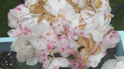 Pink Spots Killing Hydrangea