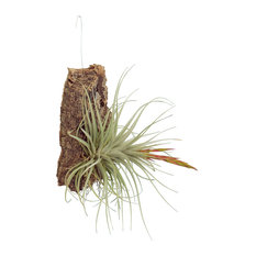 Cork Mounted Tillandsias, Medium (7in-10in)