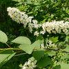 Prunus Virginiana Thrives Under Deciduous Trees