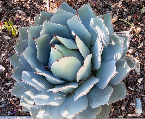 Agave In Grow Bag