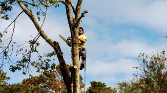 Maple removal 2018