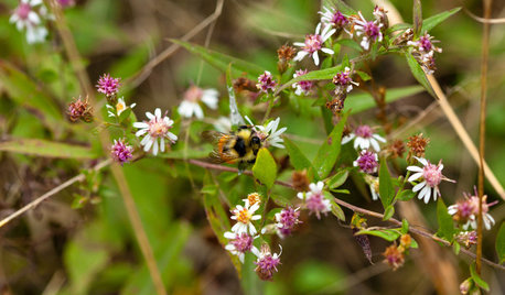 Calico Aster Is a Shade-Loving Pollinator Nirvana