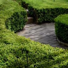 Buxus Topiary