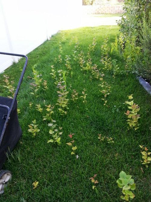 Small Tree Like Plants Growing In My Lawn