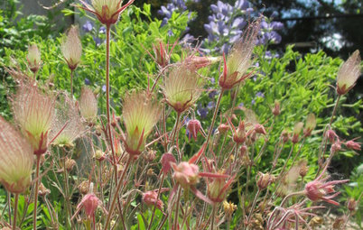 Great Design Plant: Geum Triflorum