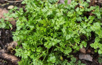 Herb Garden Essentials: Discover Delicate Chervil