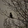 Great horned owls in our neighborhood