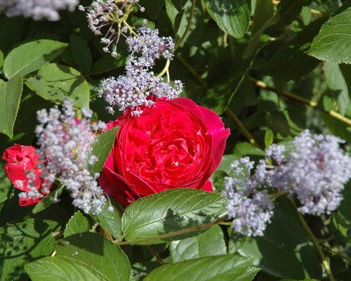 cottagegarten mit duftenden rosen und stauden. Black Bedroom Furniture Sets. Home Design Ideas