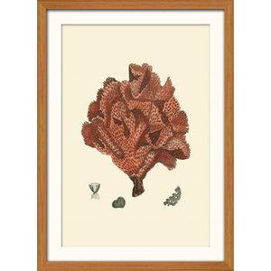 """Red Coral"" Framed Print, 41x56 cm, ""Red Encrusting Coral"""