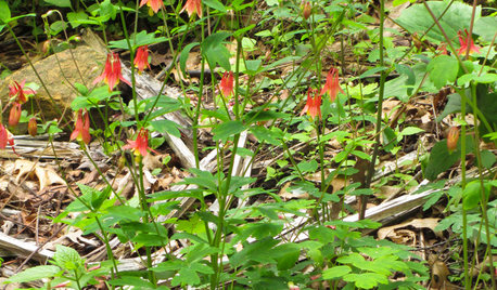 Roll Out the Welcome Mat for Hummingbirds With Red Columbine