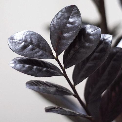 Raven Zz Plant