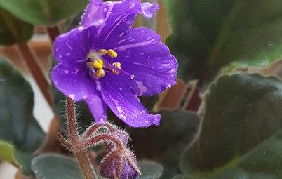 Растение месяца: Сенполия на подоконнике