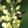 Great Native Plant: Baptisia