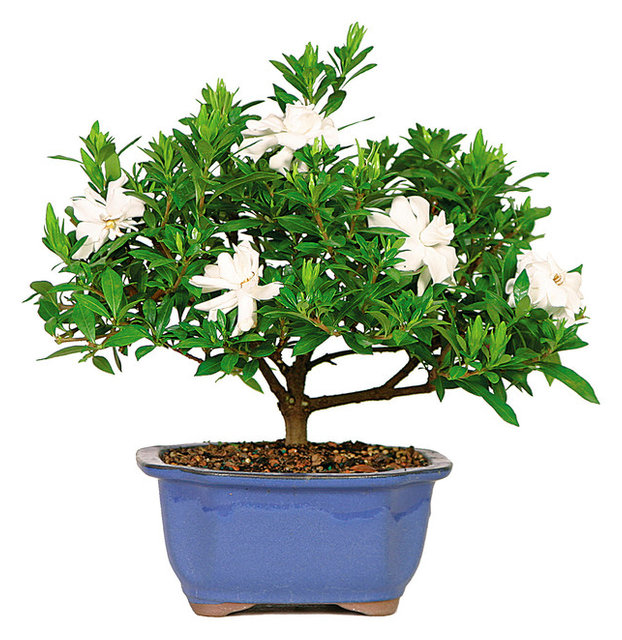 Gardenia Bonsai Tree Asian Plants By Brussel S Bonsai