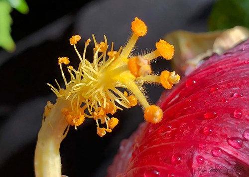 Stored Pollen Hybridizing