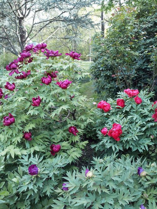 Tree Peony Anyone Know Which Named Variety Is The Most Purple