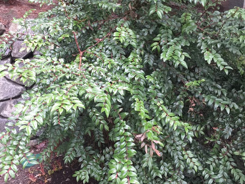 Hi Can You Pls Help Me Id This Evergreen Shrub It Is About 4 X Definitely Needs To Be Trimmed Thank